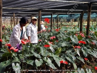 anthurium_cultivation_in_greenhouse_mauritius.jpg