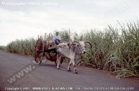 ox_cart_mauritius_and_sugar_cane_field.jpg