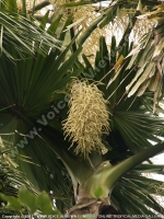 corypha_umbraculifera_pamplemousses_botanical_garden_also_known_as_talipot.jpg