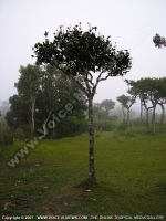 mauritius_young_ebony_tree copy.jpg